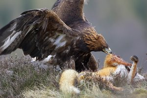 SR-golden-eagle-202.jpg