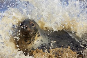 MW-grey-seal-039.jpg