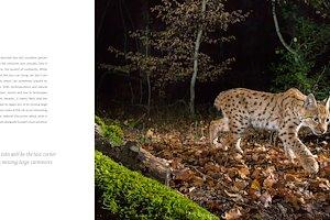 Lynx-walking.jpg
