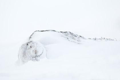 Snowdrift hare