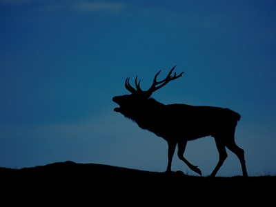 Red deer (cervus elaphus) silhouetted on skyline at sunset, Scotland.