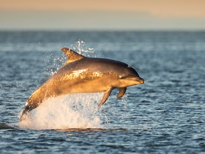 Bottlenose dolphin (Tursiops truncatus) breaching, Moray Firth, Scotland.