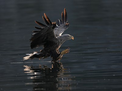 Sea eagle (Haliaeetus albicilla) adult stooping for fish in sea, Flatanger, Norway.