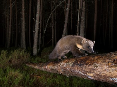 Pine marten foraging in pine woodland at night, Glenfeshie, Scotland.