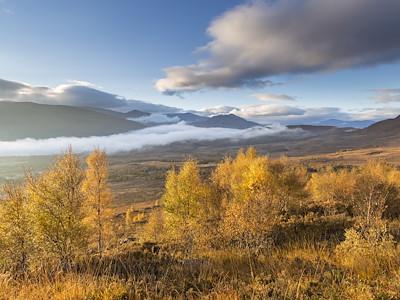 Silver birch trees in autumn in upland habitat, Creag Megaidh NNR,