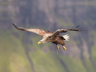 Sea eagle (haliaetus albicilla) in flight, Portree, Skye, Scotland.