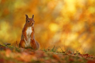Red Squirrel (Sciurus vulgaris) in autumn colours, Scotland