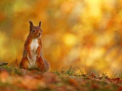 Red Squirrel (Sciurus vulgaris) in autumn colours, Scotland
