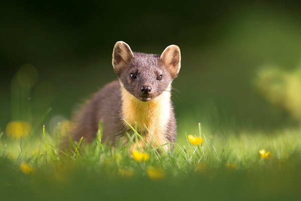 Scotland's wildlife is RETURNING