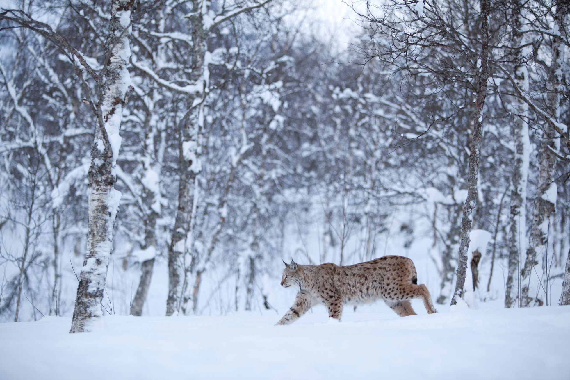 European Lynx (lynx lynx) in winter birch forest, Tromso, Norway (c)