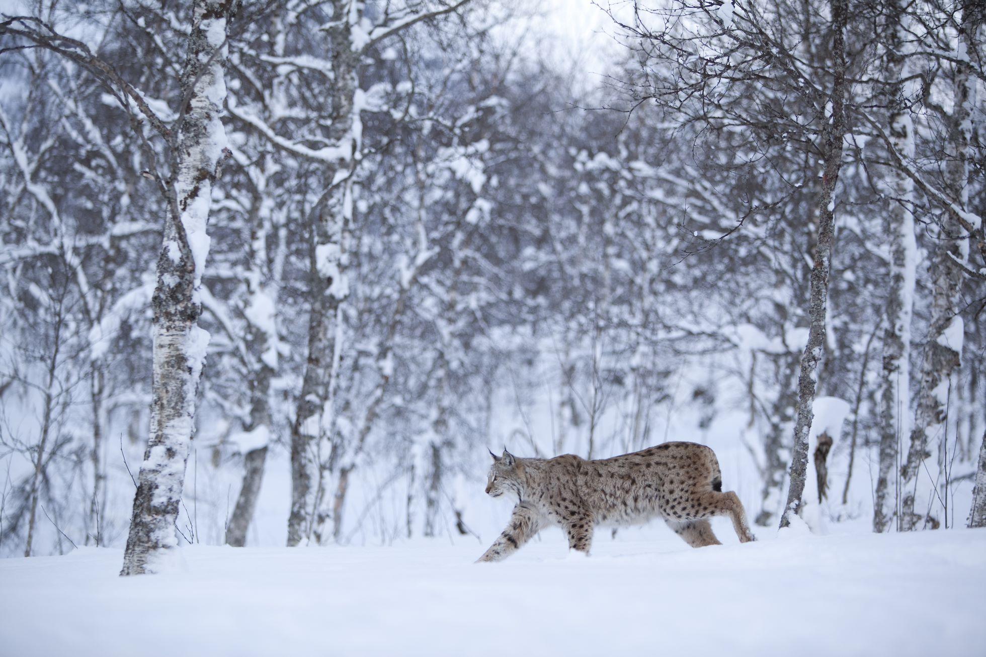 European Lynx (lynx lynx) in winter birch forest, Tromso, Norway (c)