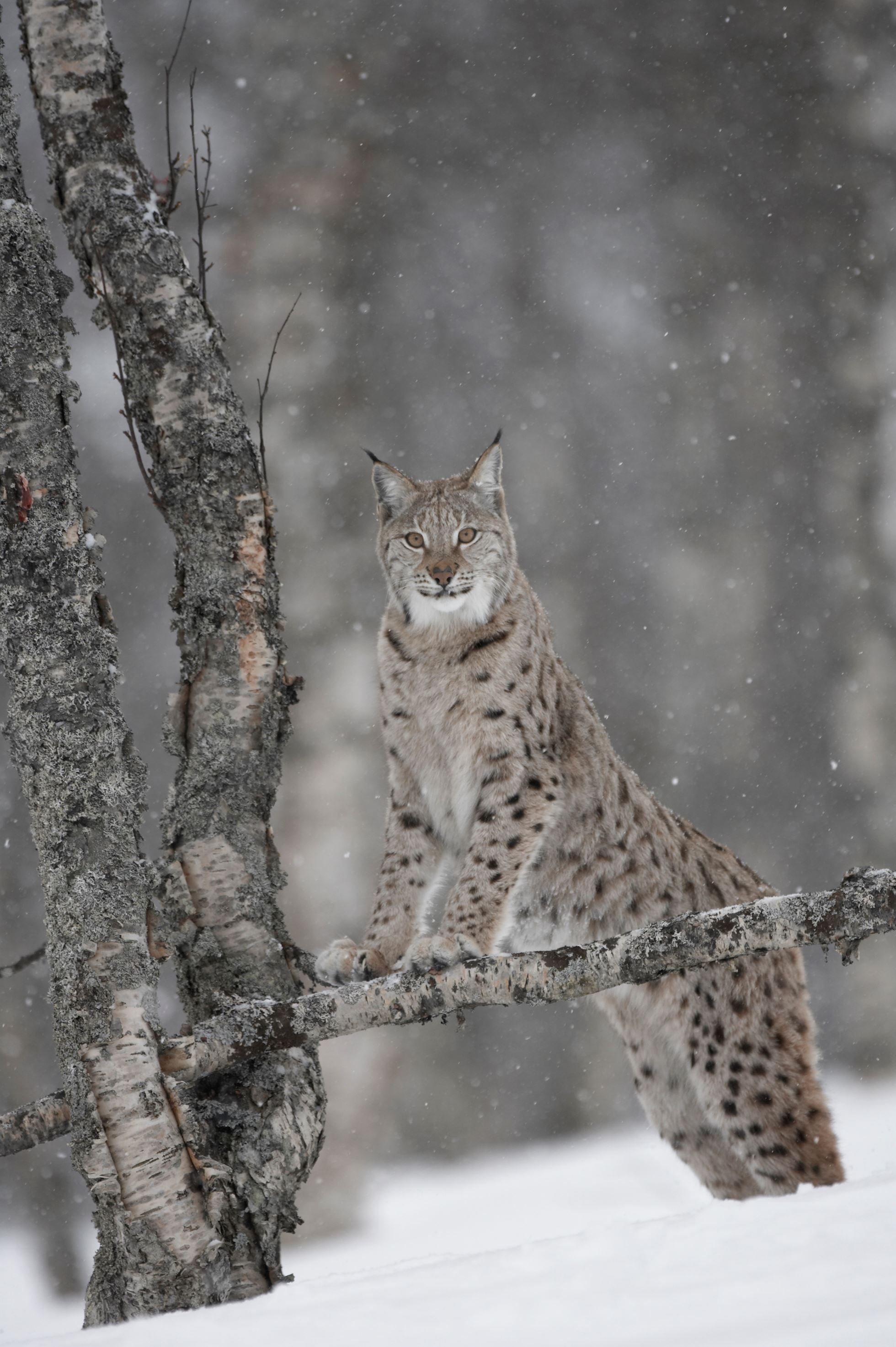 European Lynx (Lynx lynx) adult female climbing tree in winter birch forest, Bardu, Norway (c)