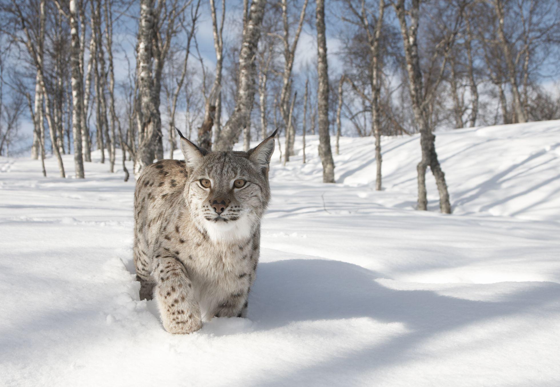 European Lynx (Lynx lynx) adult female in winter birch forest, Bardu, Norway (c)