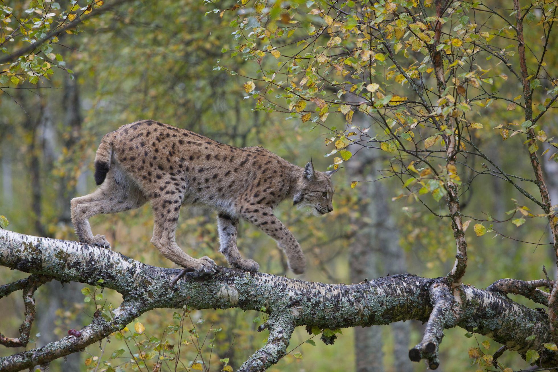 Eurasian Lynx (lynx lynx) in autumnal boreal forest, Norway (c)
