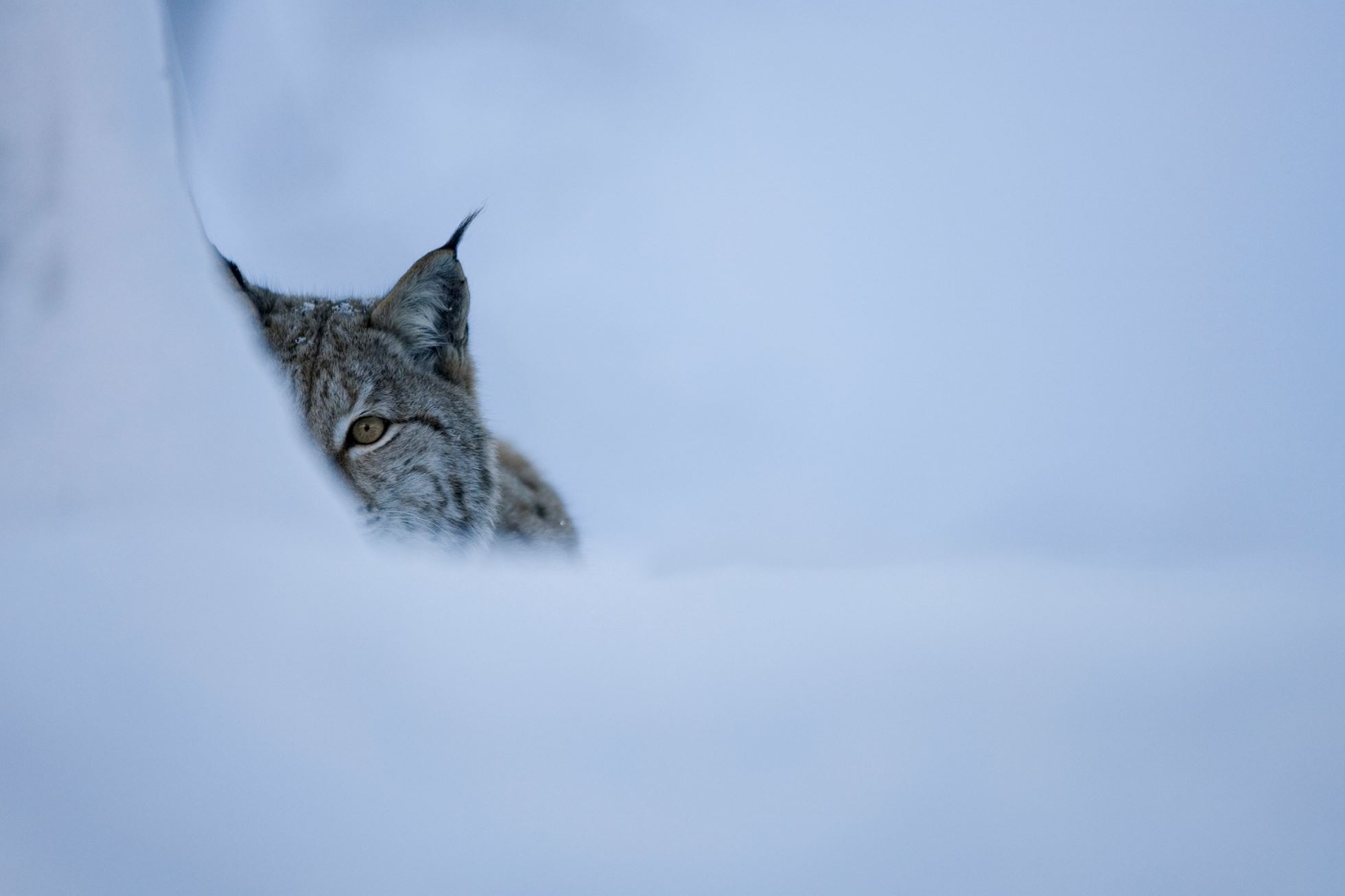 Eurasian lynx (Lynx lynx) in winter birch forest, Norway (c).