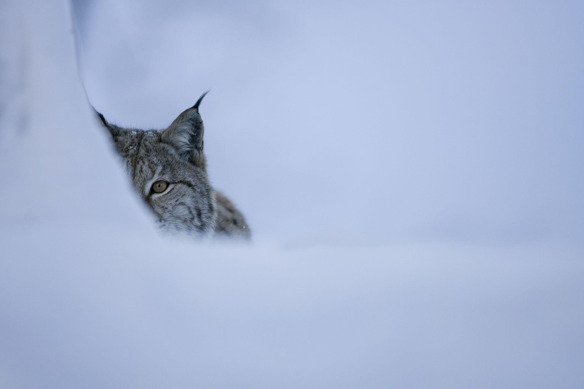 Eurasian lynx (Lynx lynx) in winter birch forest, Norway (c).