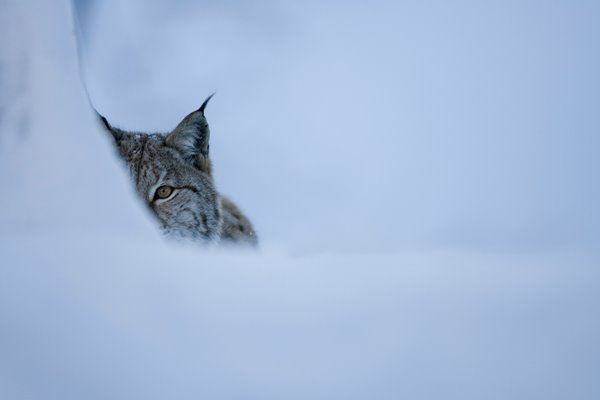 COULD WE LIVE WITH LYNX?