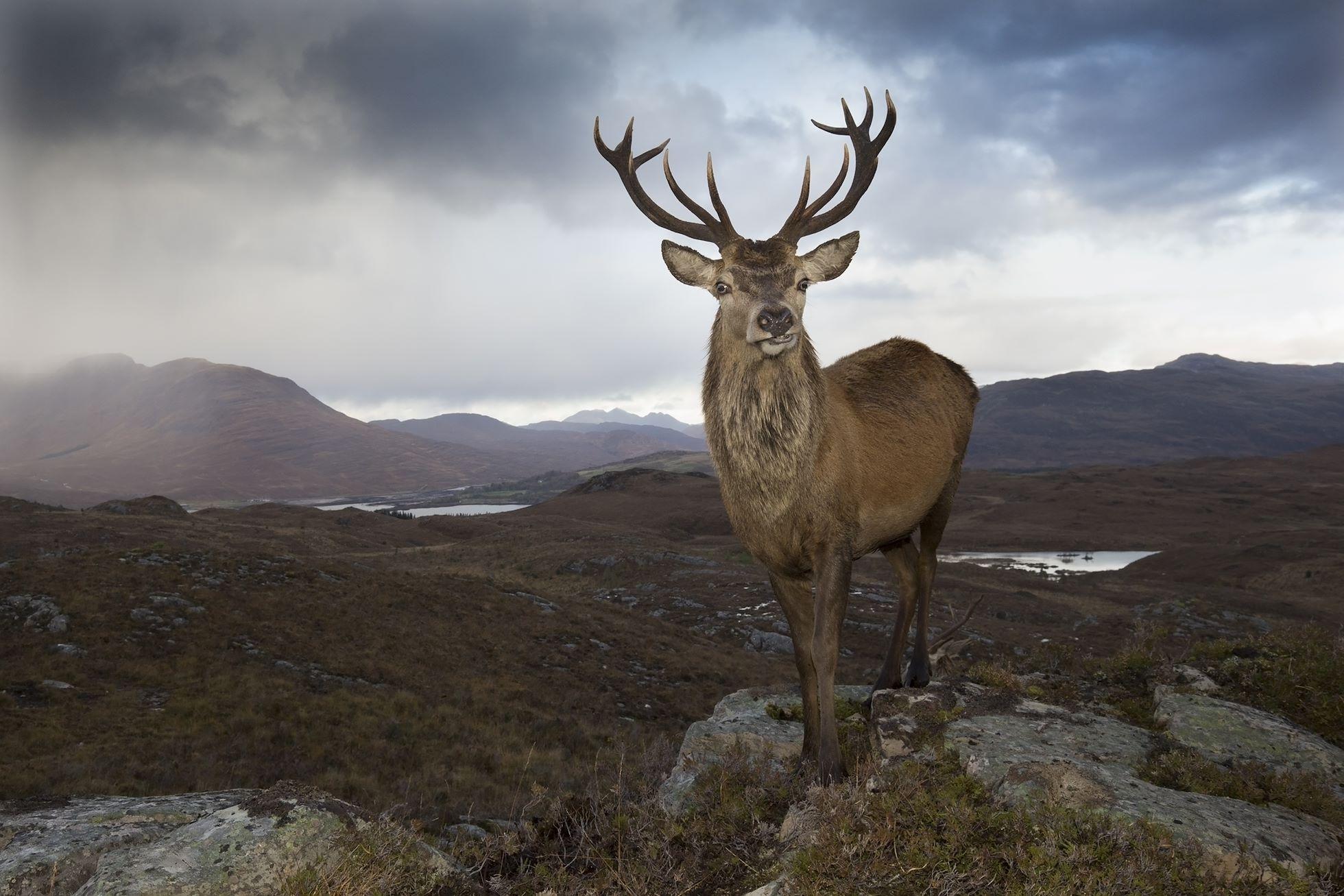 Red deer (Cervus elaphus) stag in west Highland landscape, Lochcarron, Wester Ross, Scotland