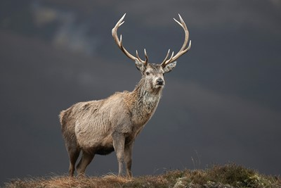 Red deer (Cervus elaphus) stag standing on hillside, Alladale, Scotland.