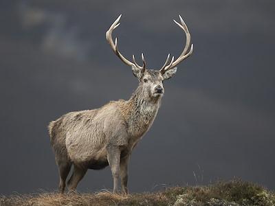 Red deer (Cervus elaphus) stag standing on hillside, Alladale, Scotland.
