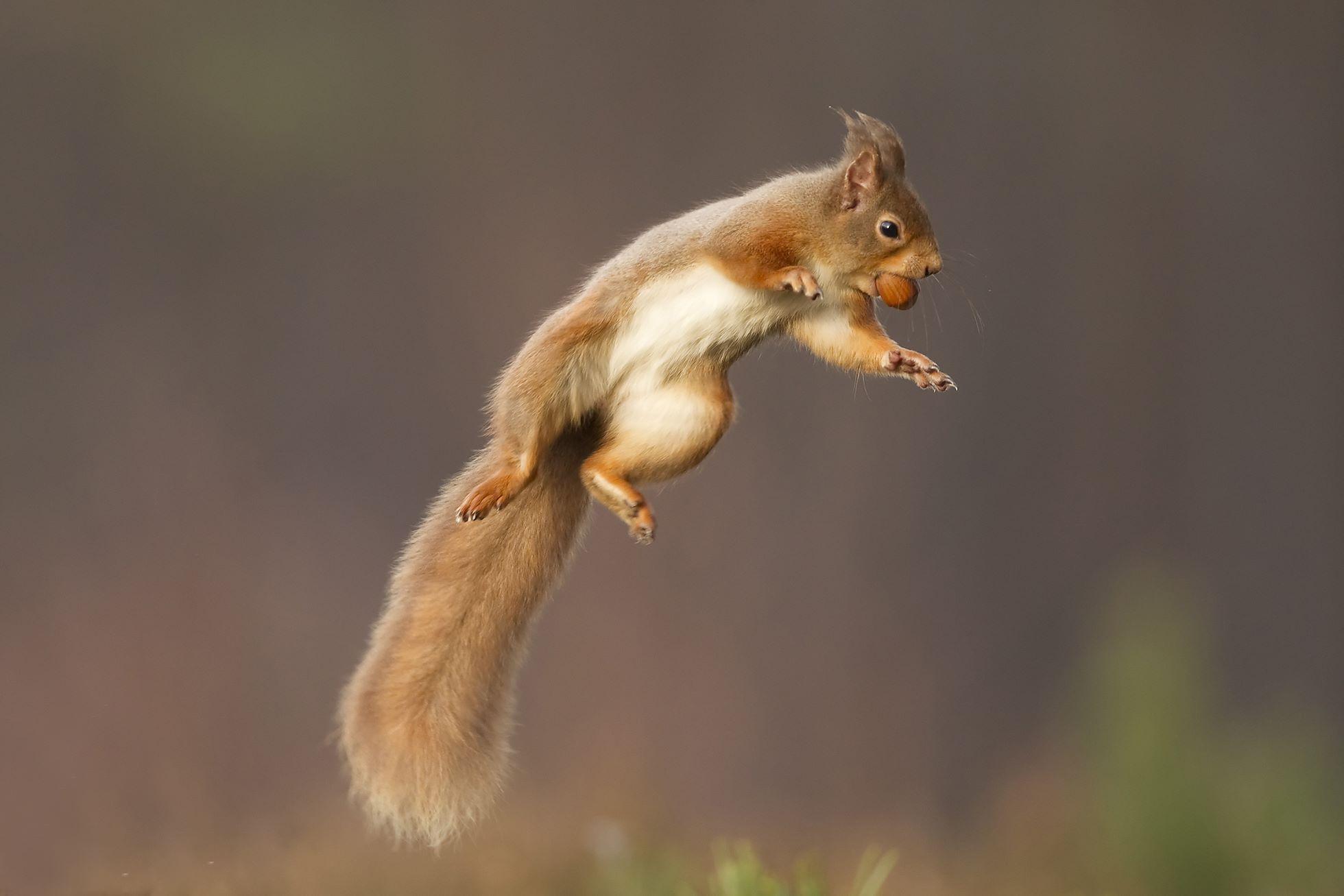 Red squirrel (Sciurus vulgaris) jumping, Cairngorms National Park, Scotland.