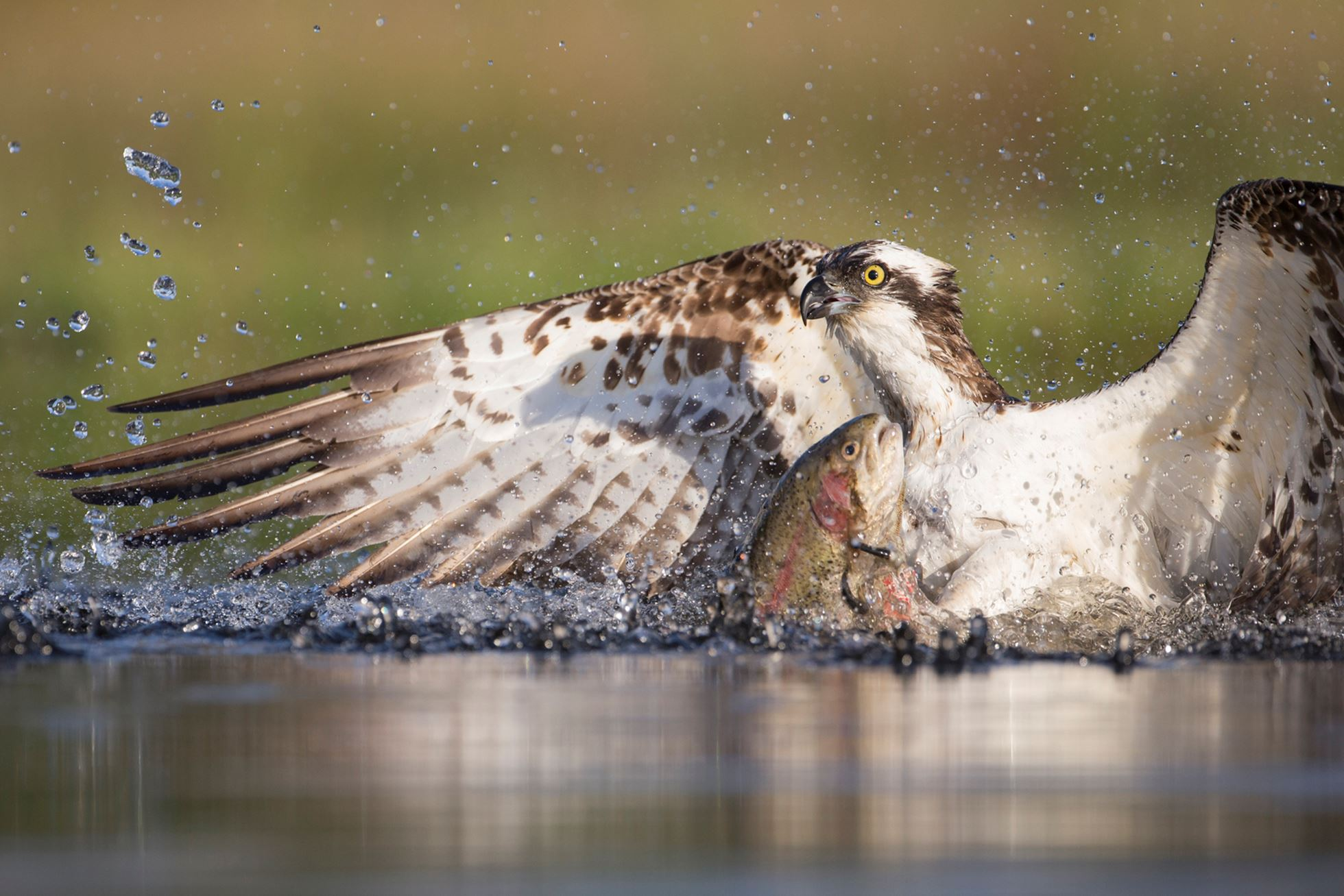 Osprey (Pandion haliaetus) fishing at dawn, Cairngorms National Park, Scotland.