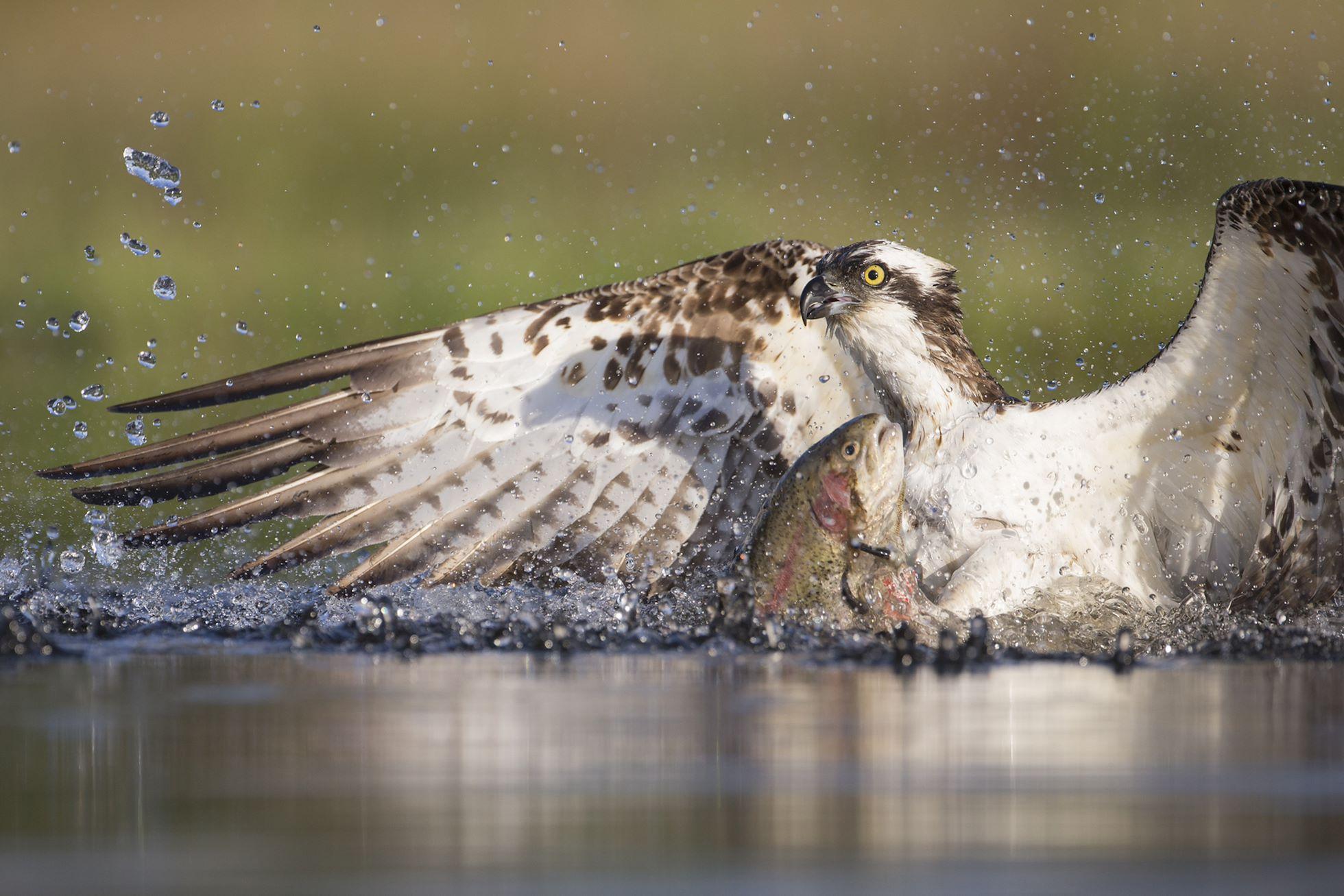 Osprey (Pandion haliaetus) fishing at dawn, Cairngorms National Park, Scotland.