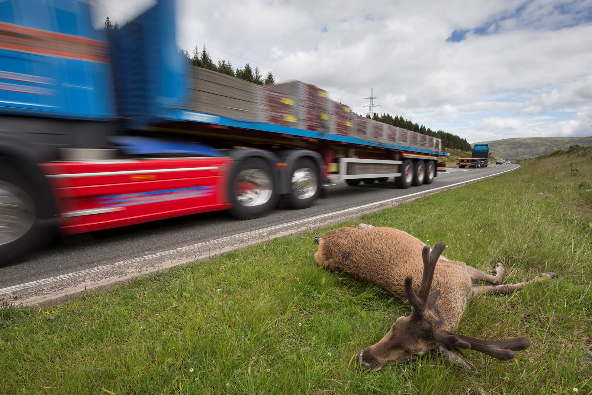 Dead red deer stag on side of A9 road, Drumochter Pass, Scotland.