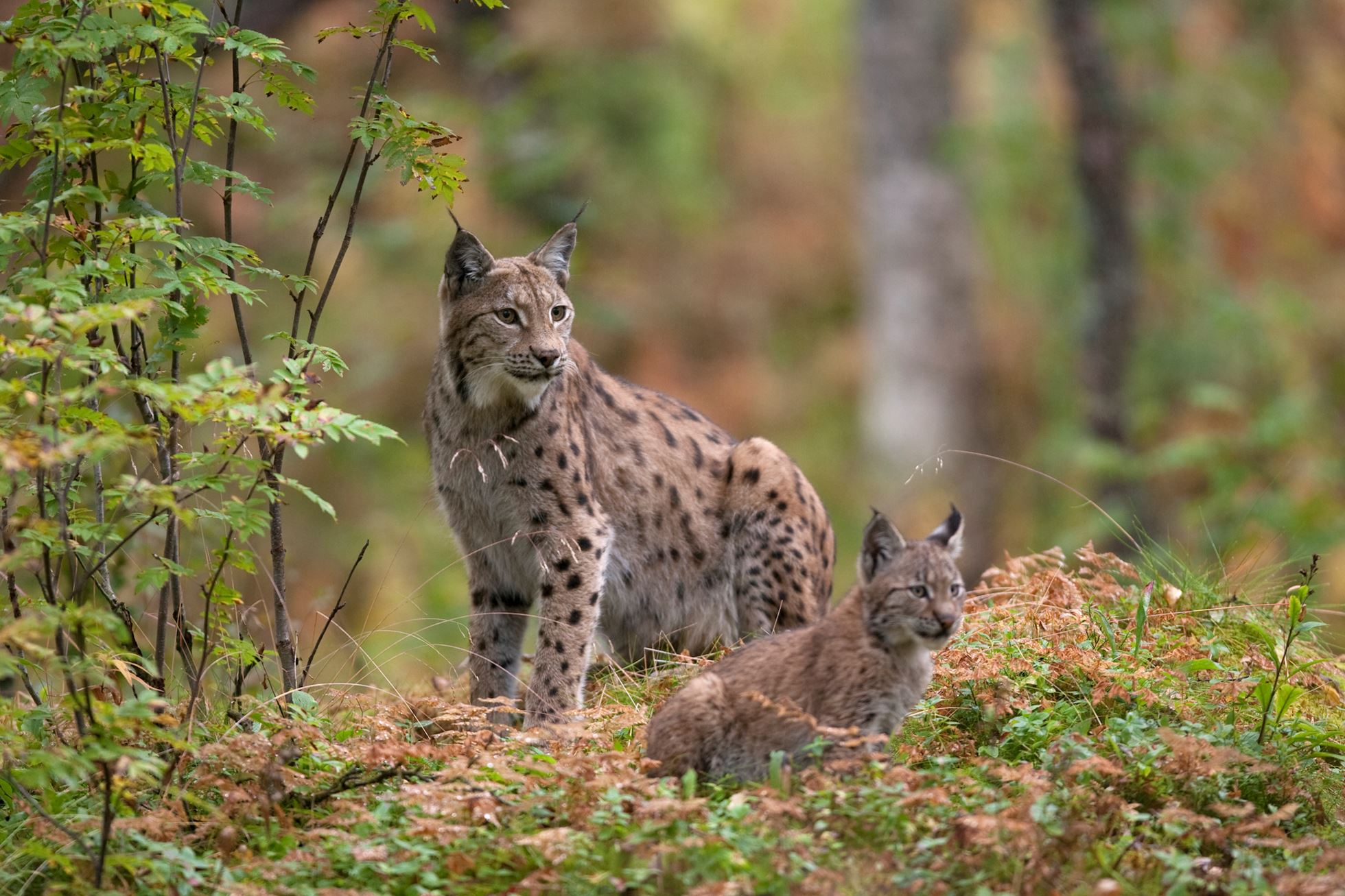 Eurasian Lynx (lynx lynx) with kitten in autumnal boreal forest, Norway (c)