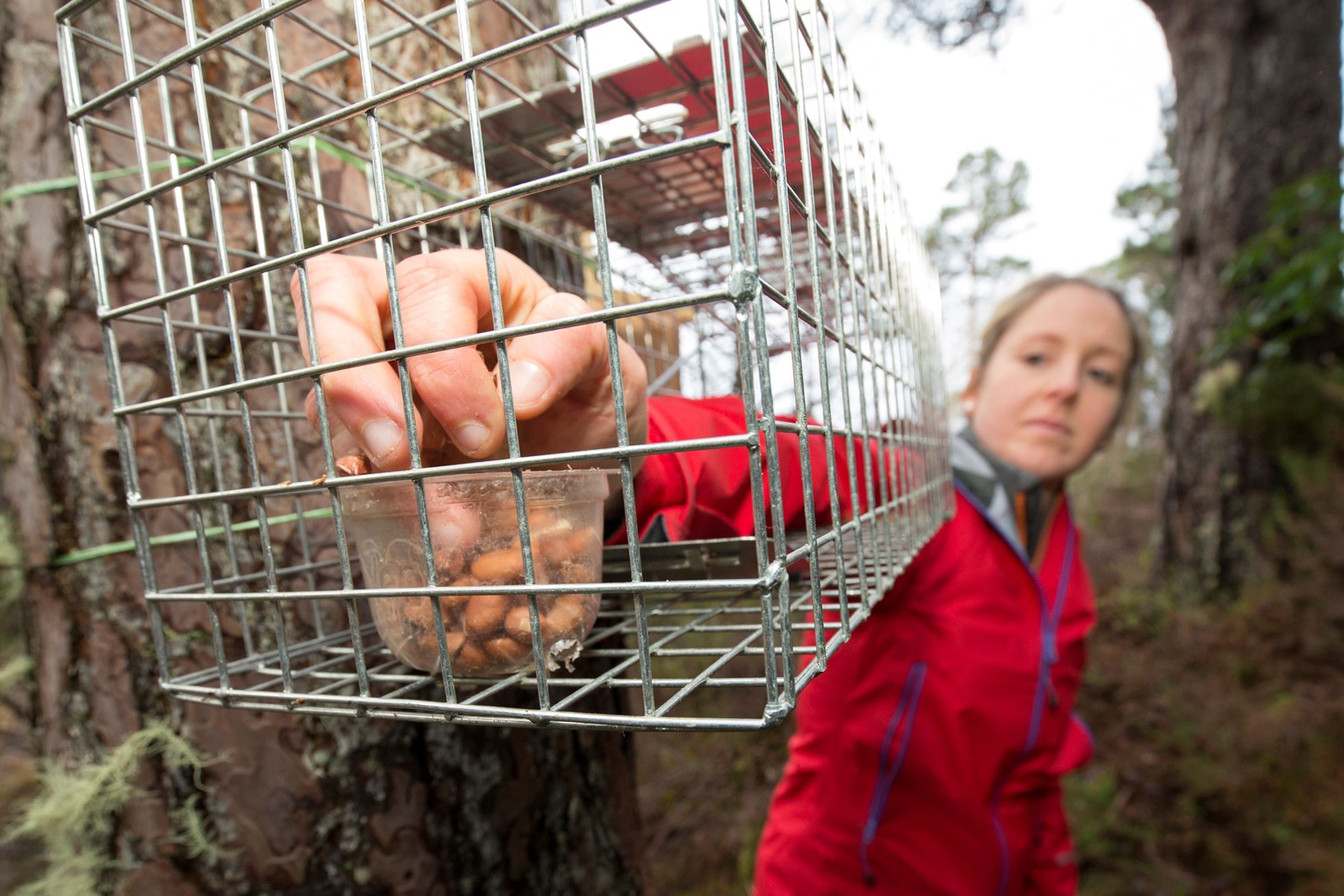 Cage traps are baited weeks before capture to acclimatise squirrels.