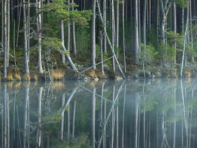 Scot's Pine trees (Pinus sylvestris) reflected in loch, Abernethy Forest, Scotland