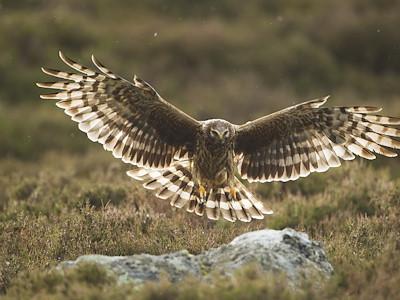 Hen harrier Circus cyaneus, adult female in flight preparing to land on rock on moorland, Glen Tanar Estate, Scotland, June