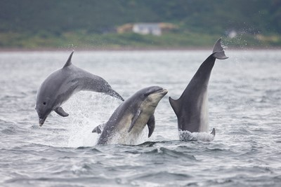 Bottlenose dolphin trio (Tursiops truncatus) breaching, Moray Firth, Scotland.