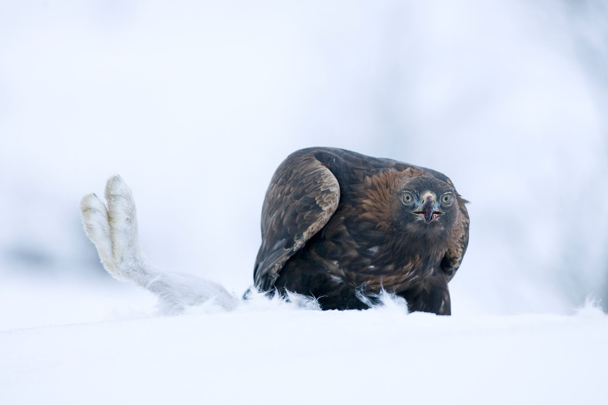 Golden eagle (Aquila chrysaetos) (c) feeding on mountain hare in winter, Scotland.