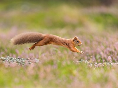 Red Squirrel (Sciurus vulgaris) running along fallen log amongst heather