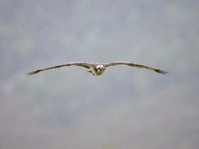 Osprey (Pandion haliaetus) in flight, Glenfeshie, Cairngorms National Park, Scotland.