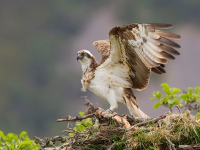 Osprey (Pandion haliaeetus) female on nest, Cairngorms Nat Park, Scotland.