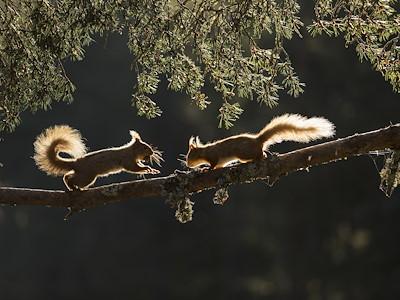Red squirrel, Sciurus vulgaris, two backlit on pine branch, Cairngorms National Park, Scotland