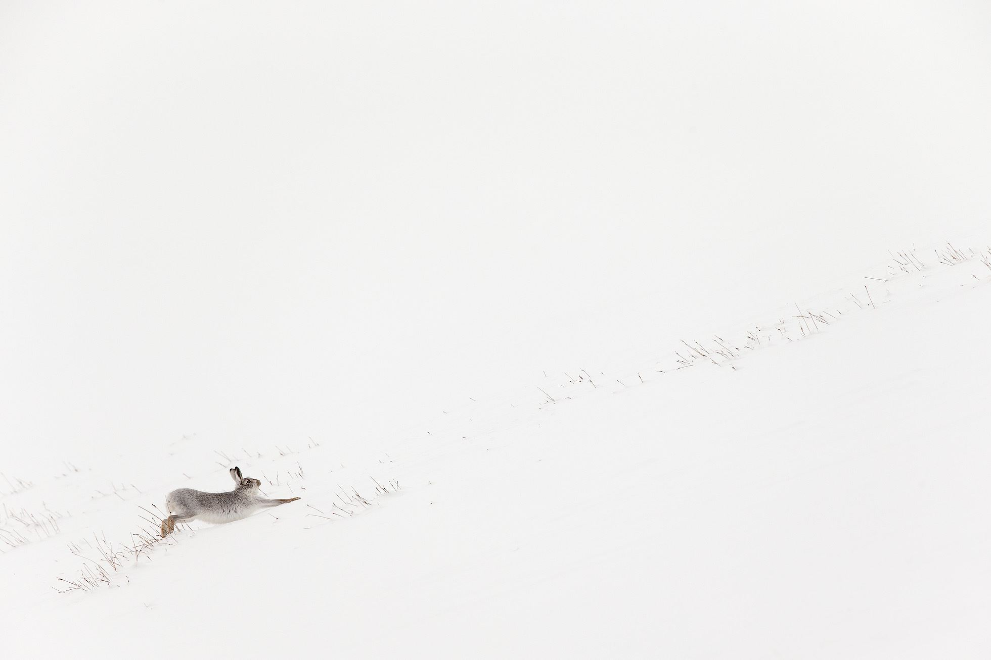 Mountain Hare (Lepus timidus) in white winter coat stretching - in snowy habitat