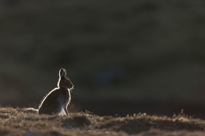 Mountain Hare (Lepus timidus) adult in spring coat backlit on moorland