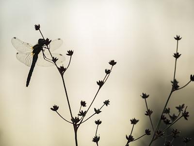 Black darter, Sympetrum danae, female perched, Scotland