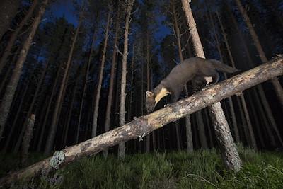 Pine marten (martes martes) climbing a fallen bough in pine forest, Glenfeshie, Scotland.