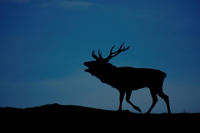 Red deer (cervus elaphus) silhouetted on skyline at sunset, Scotland.