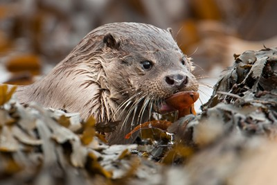 An otter comign ashore with a butterfish.