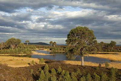Scot's pines (Pinus sylvestris) and regeneration on moorland, Abernethy, Cairngorms National Park, Scotland