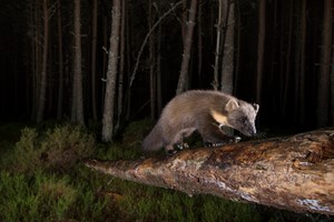 Pine martens frequent the surrounding pinewoods.