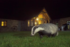 Badgers and pine martens make nightly visits to our feeding station.