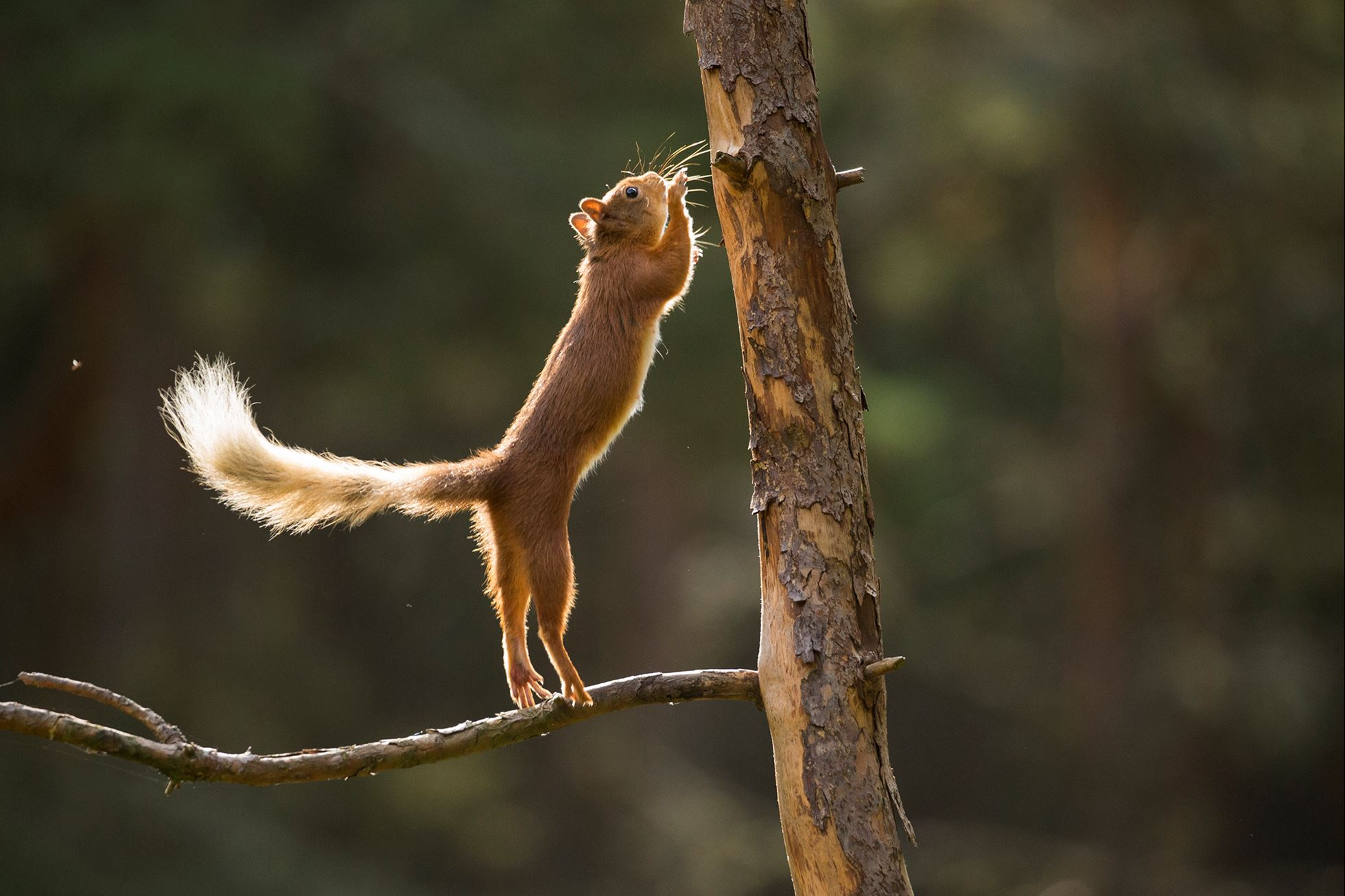Red Squirrel (Sciurus vulgaris) leaping from pine branch