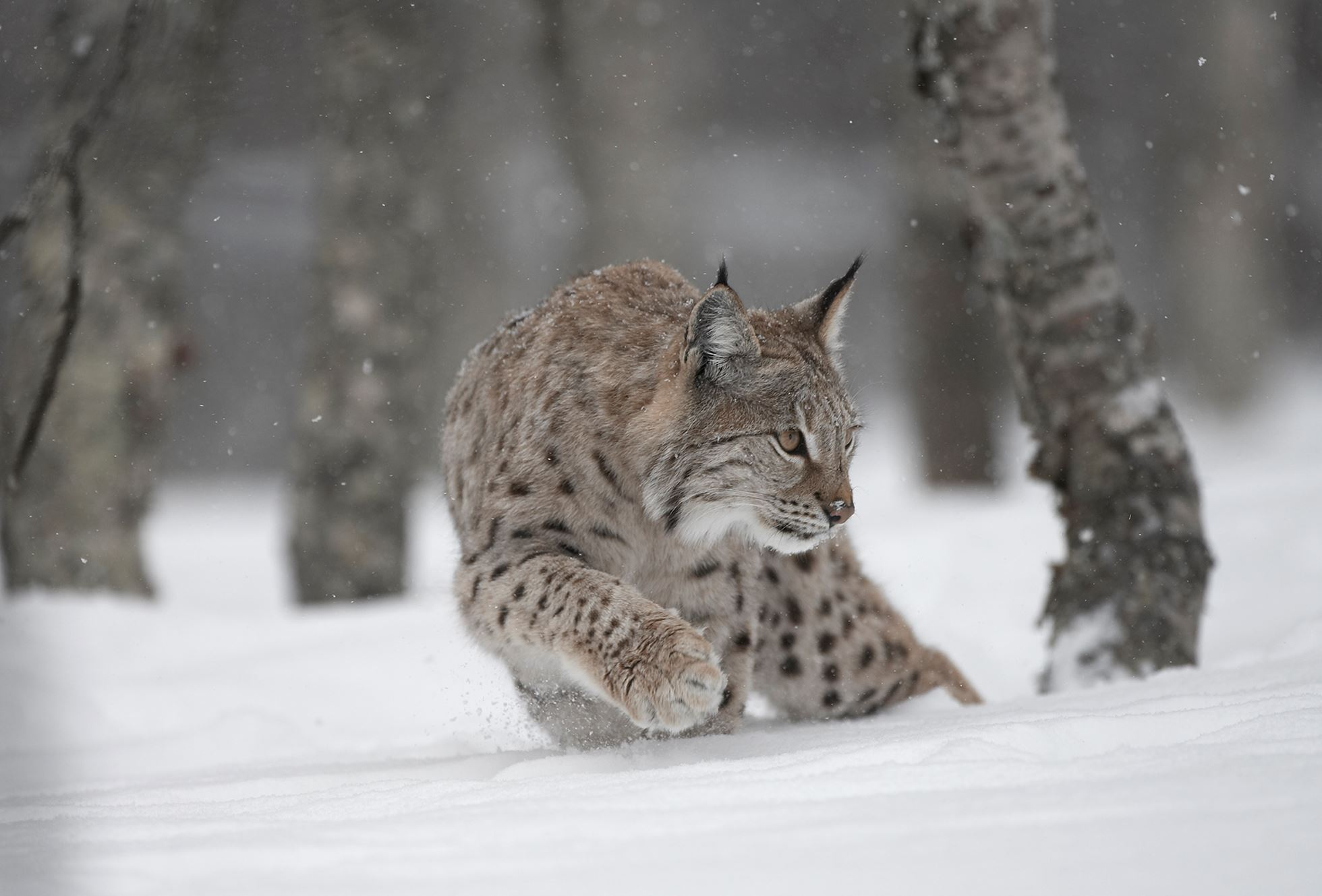 European Lynx (Lynx lynx) adult female stalking through winter birch forest, Bardu, Norway (c)
