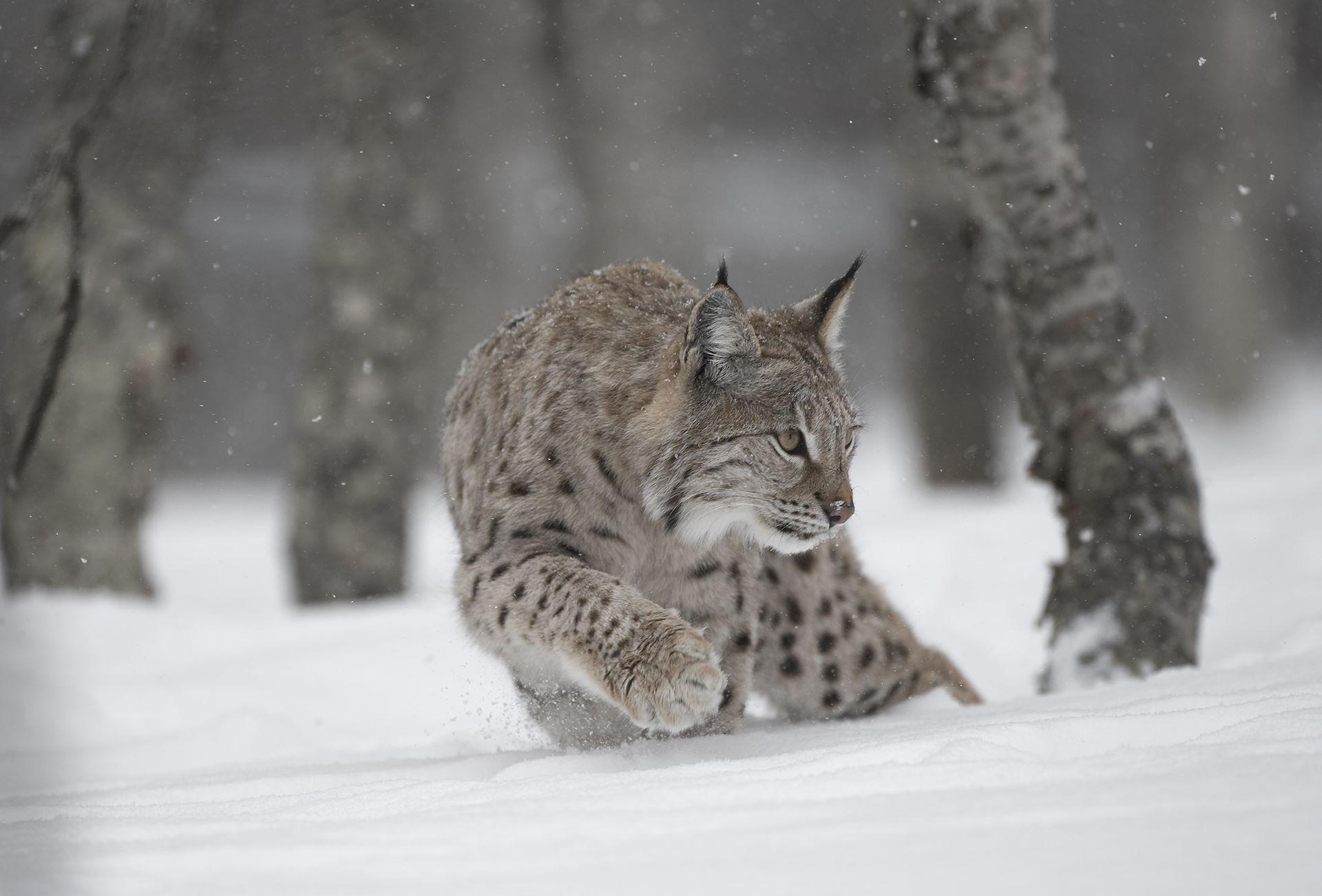 European Lynx (Lynx lynx) adult female stalking through winter birch forest, Bardu, Norway (c)